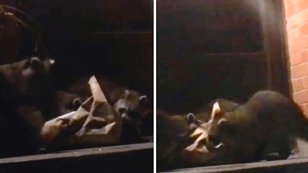 A Door Dash Order Was Stolen By 3 Hungry Raccoons & Could That Be Anymore Toronto? (VIDEO)