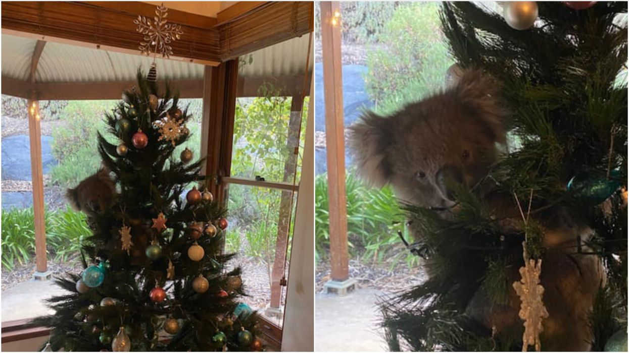 A Koala In A Christmas Tree: An Australian Found A Holiday Surprise & He's The Cutest Ever