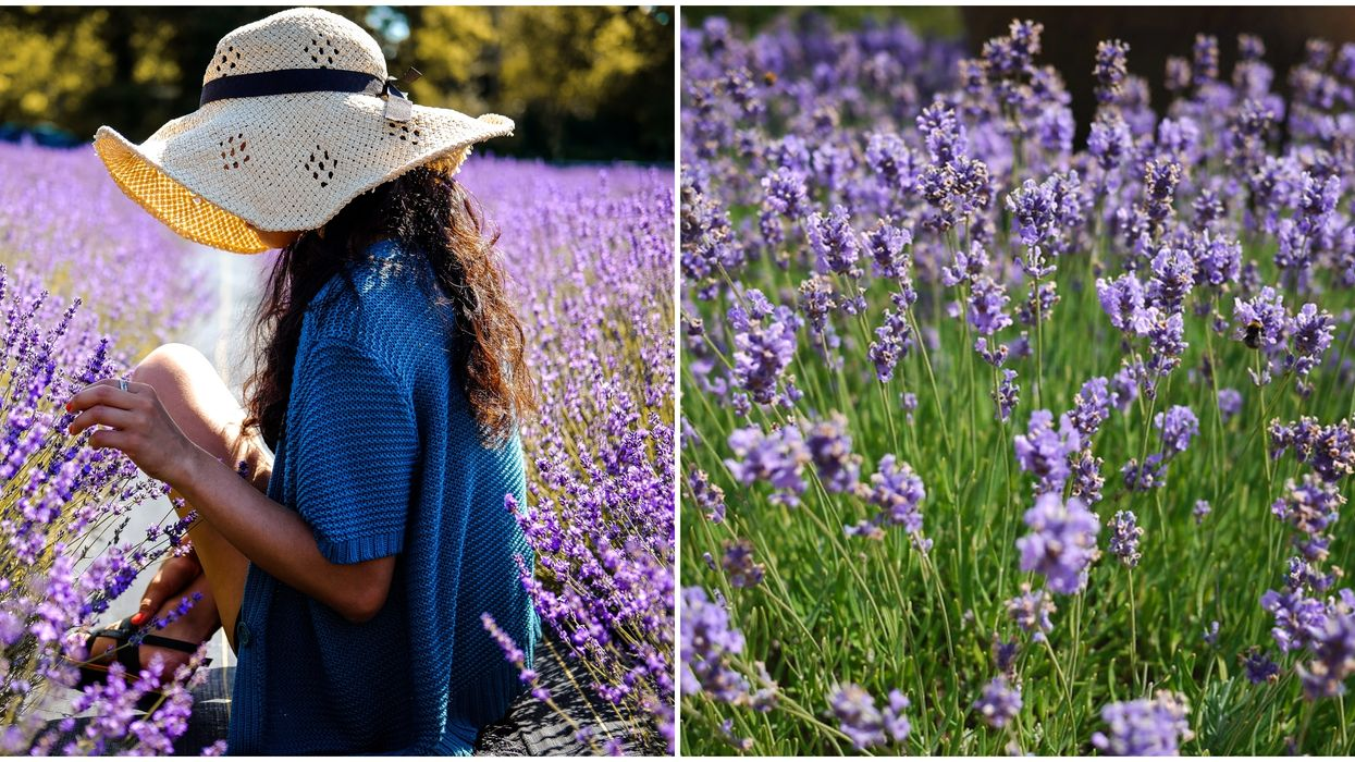 A Lavender Festival In Austin Is Coming This May
