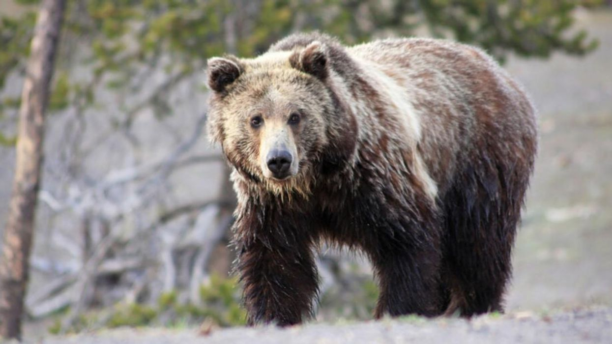 A Woman Refused To Move For A Charging Grizzly Bear In Yellowstone & Now She's Going To Jail