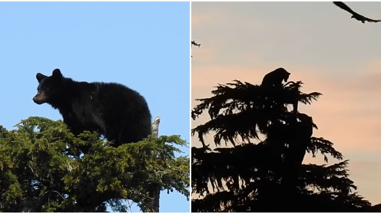 B.C. Bears In A Tree Were Caught Battling High Above Ground As Eagles Circled (VIDEO)