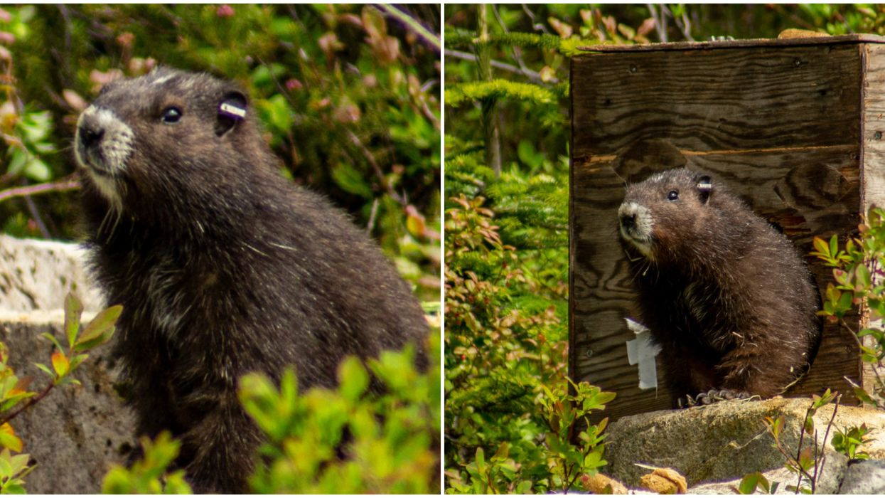 B.C.'s Vancouver Island Marmots Are Being Released Into The Wild (VIDEO)