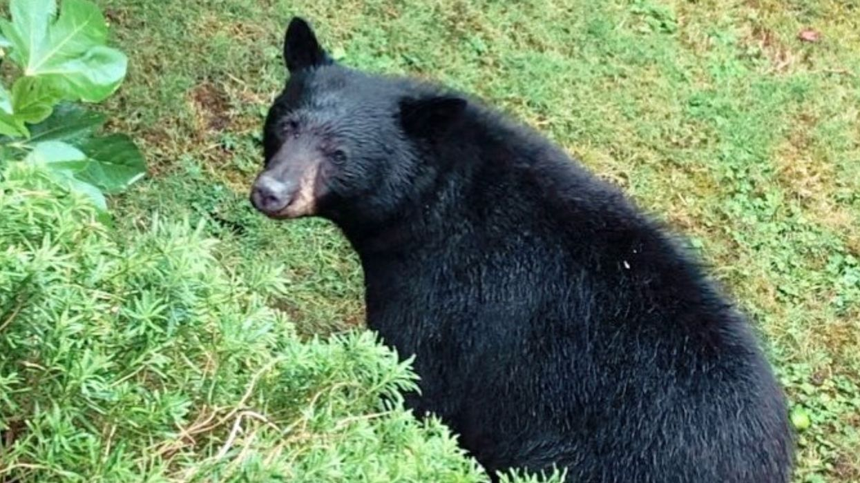 Black Bear Killed In BC: Locals Had A Memorial Service For 'Plum' After She Was Shot