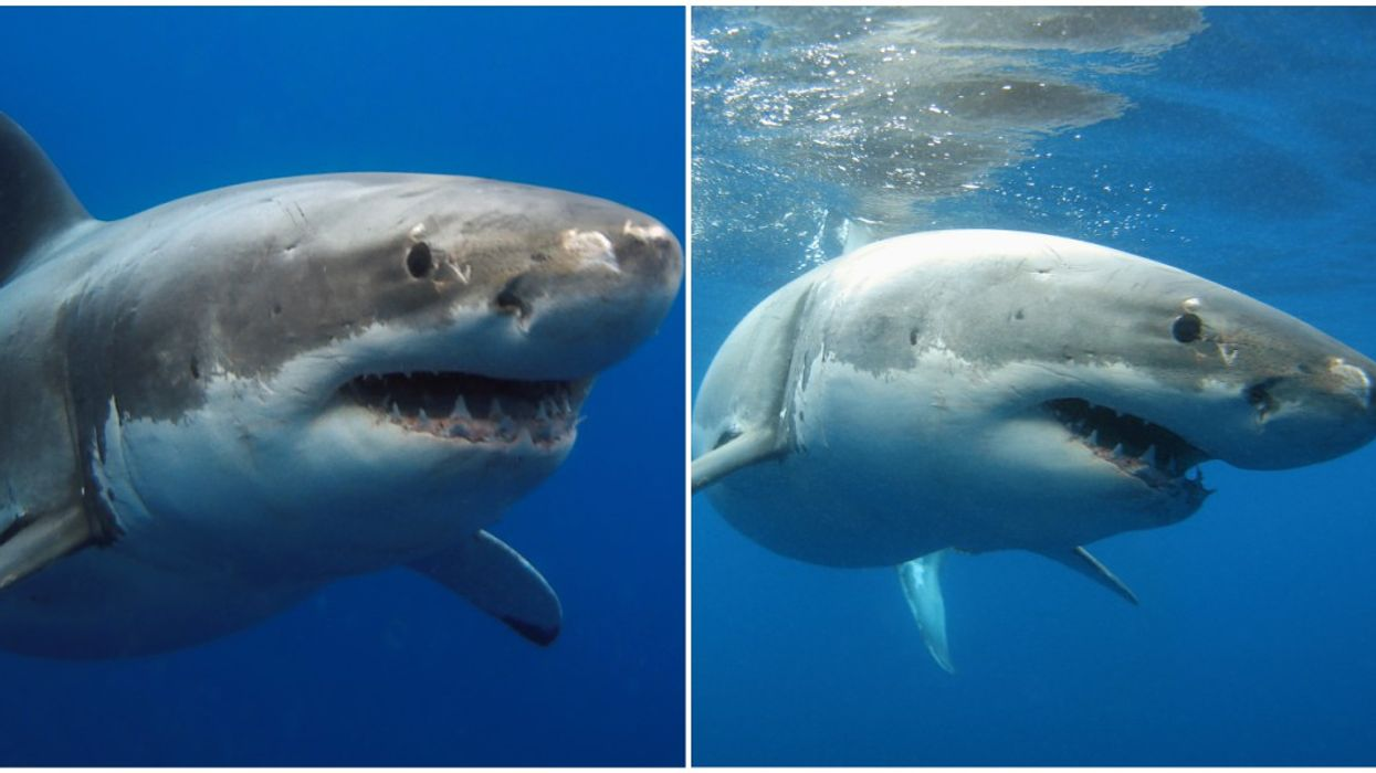 Great White Sharks Near Florida Right Now Are Huge