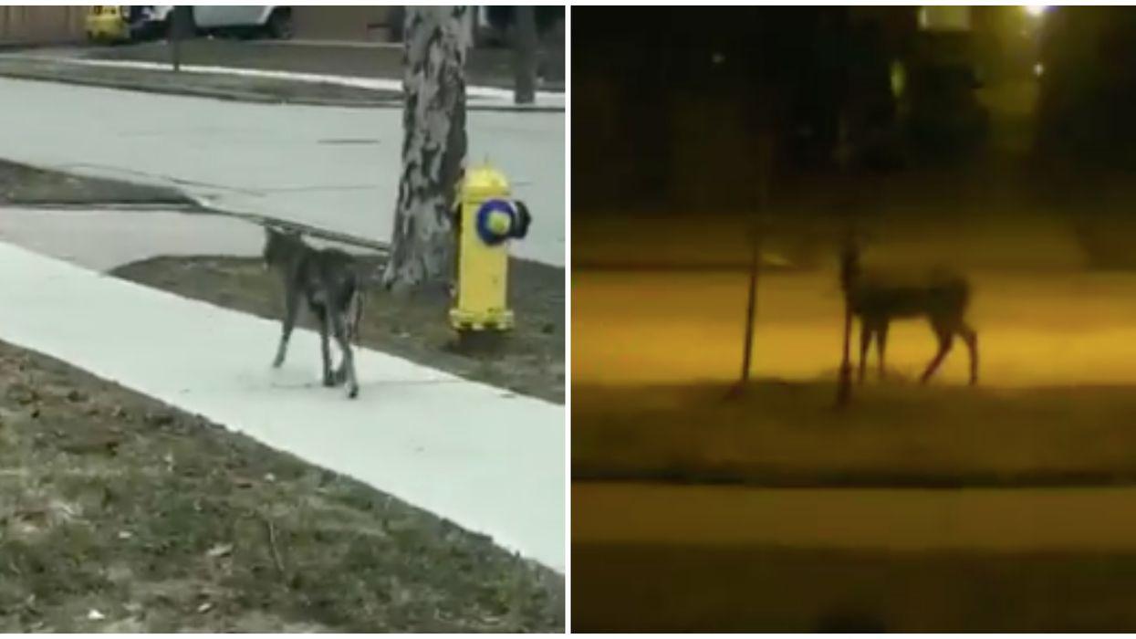 Toronto Wild Animals Sightings Have Been Filmed On Neighbourhood Sidewalks