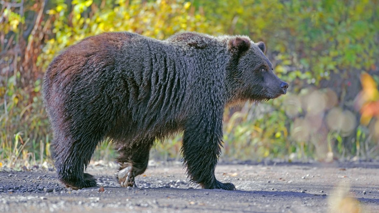 American Couple Had To Be Rescued In Canada After A Grizzly Bear Destroyed Their Canoe