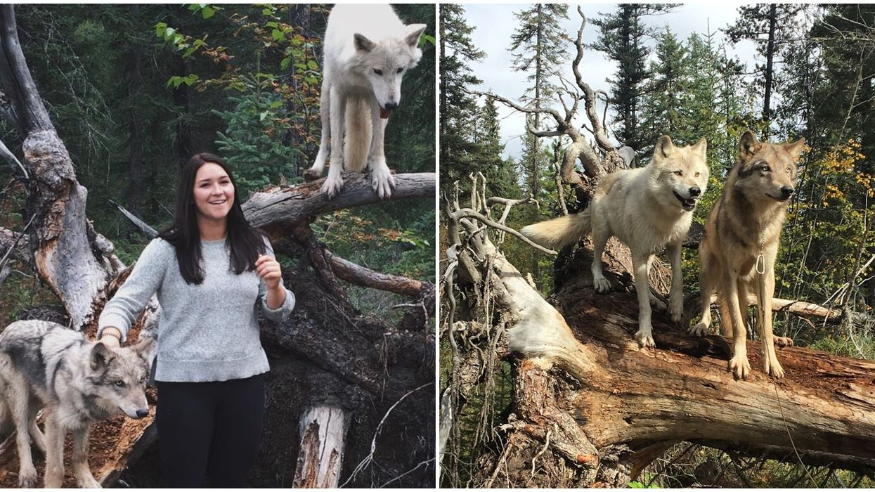You Can Walk Alongside Friendly, Adorable Wolves In A BC Forest Near Calgary This Fall