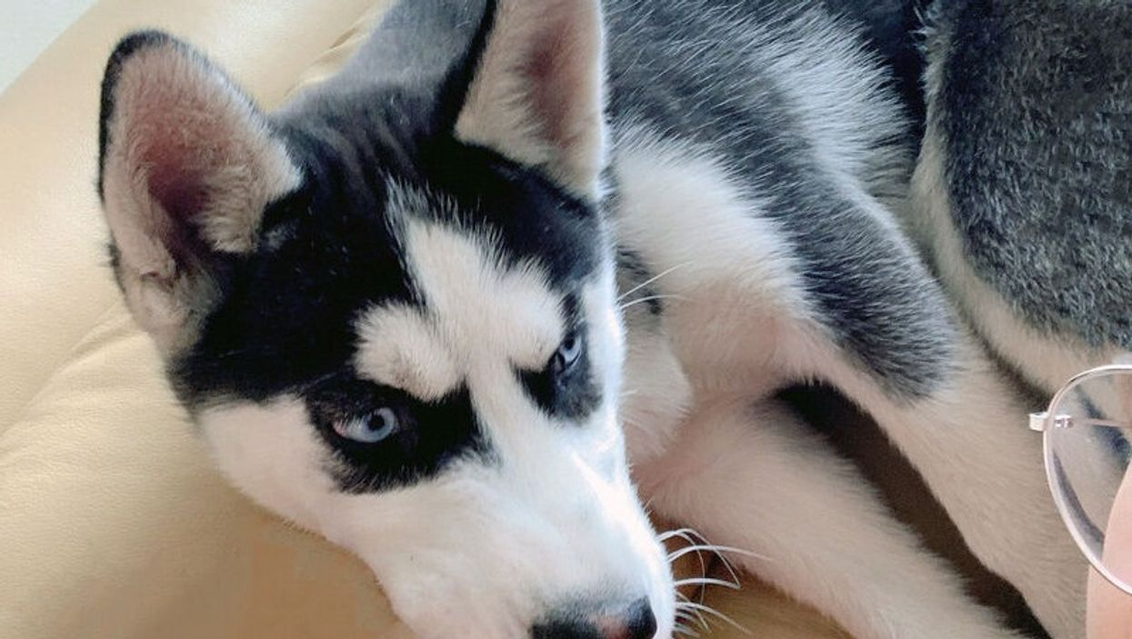 A Husky Puppy Was Stolen From Outside A Toronto Store And Police Want Your Help