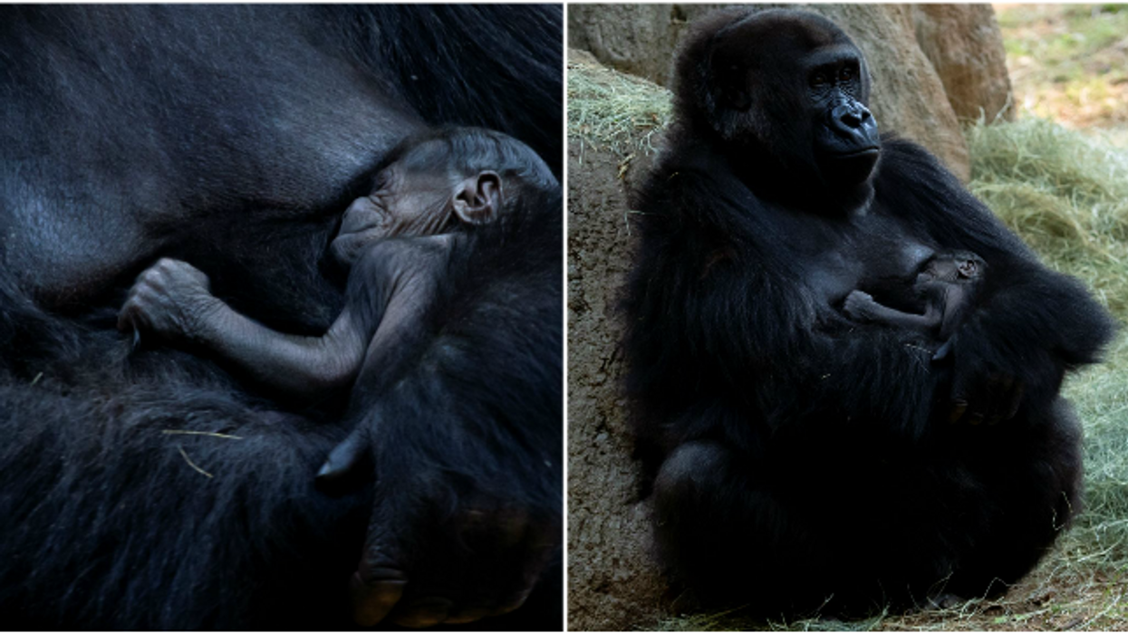 Zoo Atlanta's Newborn Gorilla Is The Cutest Thing You Will See All Summer