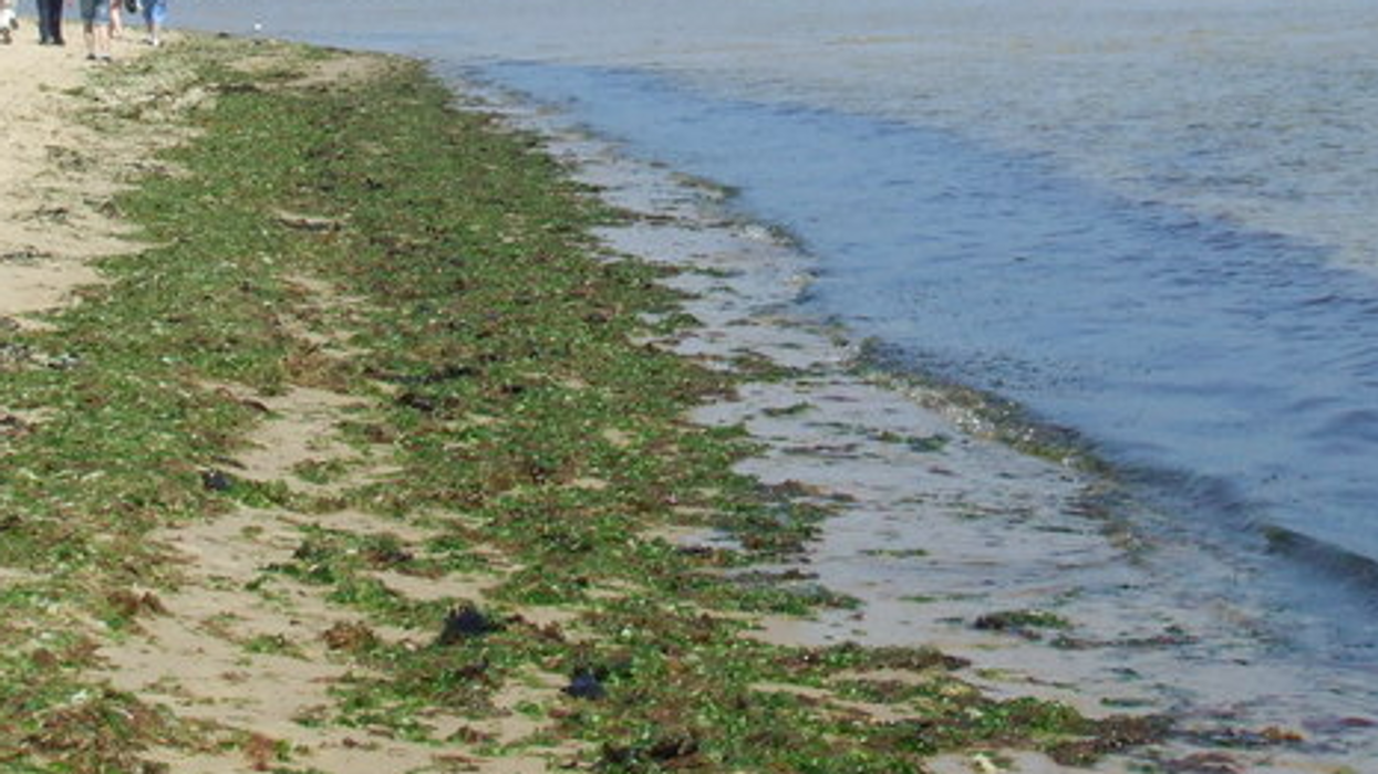 Toxic Seaweed Found In The Caribbean Poses Threat To Canadian Travellers