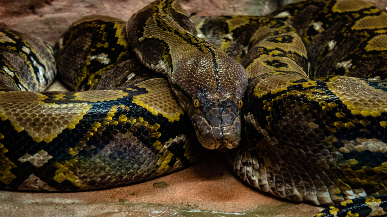 A Massive Python Snake Just Emerged From A Sewer Grate In Toronto (PHOTOS)