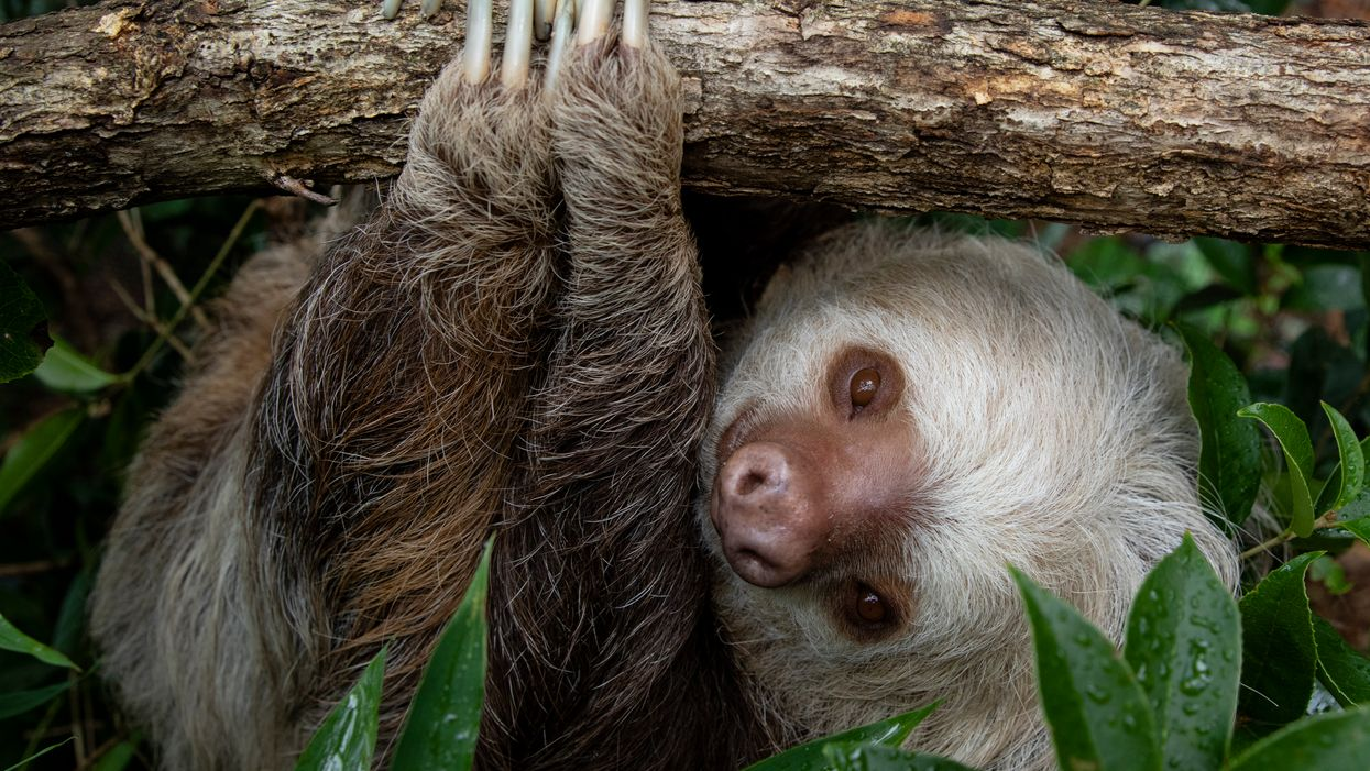 Zoo Atlanta's Two-Toed Sloth Cocoa's Soulmate Nutella Has Finally Arrived
