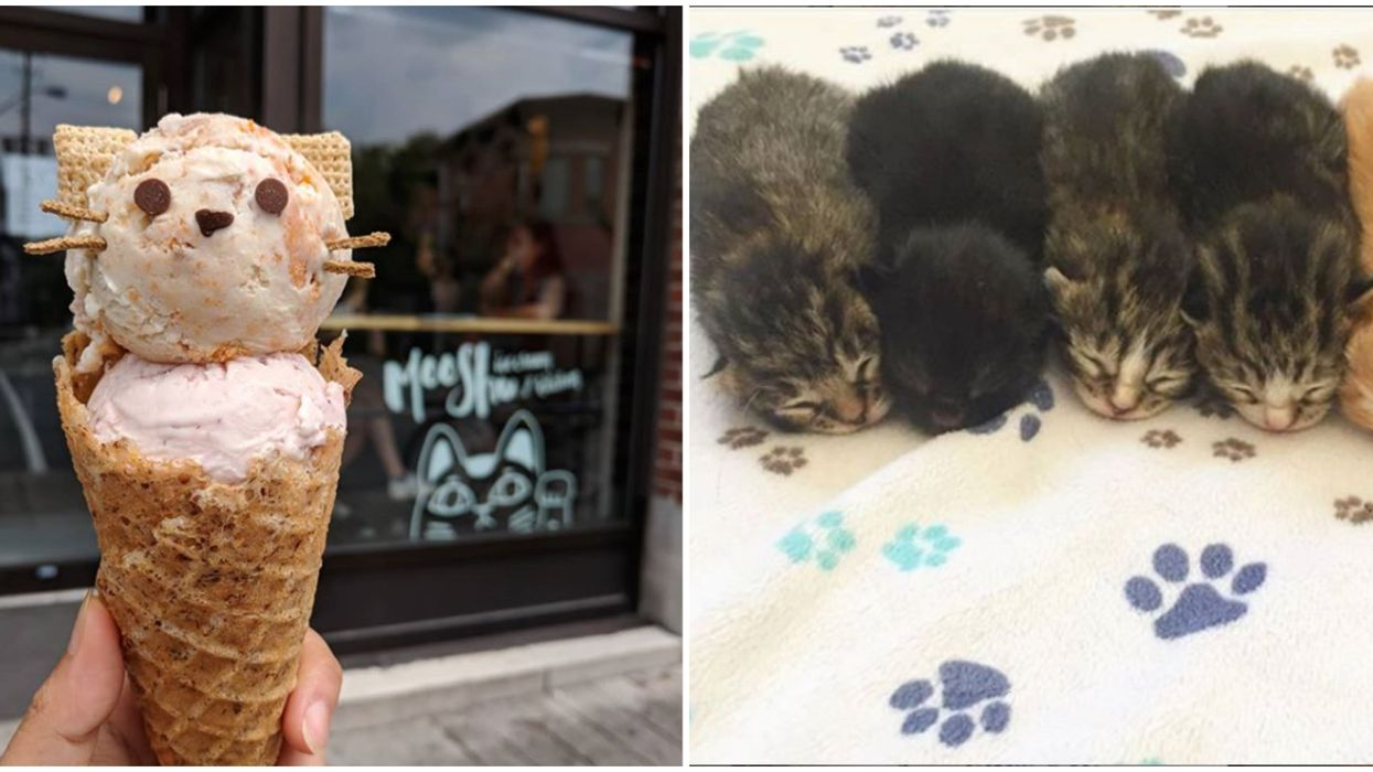 You Can Adopt Cuddly Kittens At Ottawa's Pop-Up Cat Lounge This Week