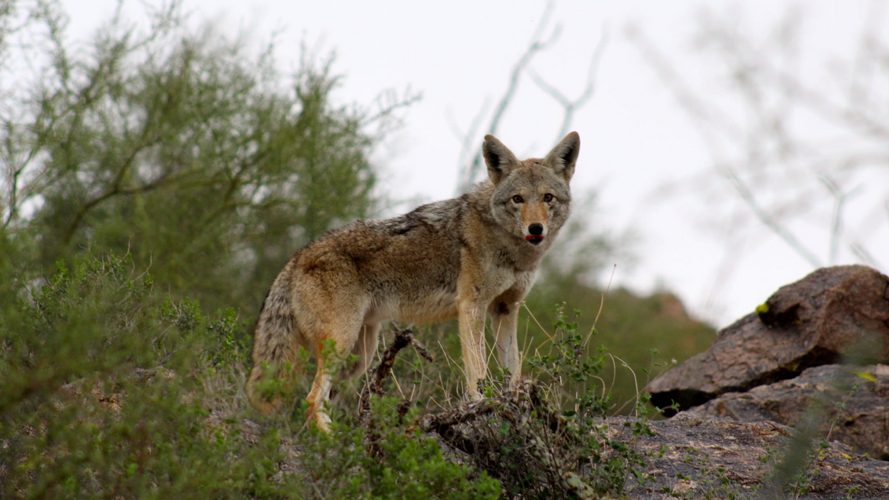 Ontario Dog Owners Are Warning Of Deadly Coyote Attacks Throughout The Province