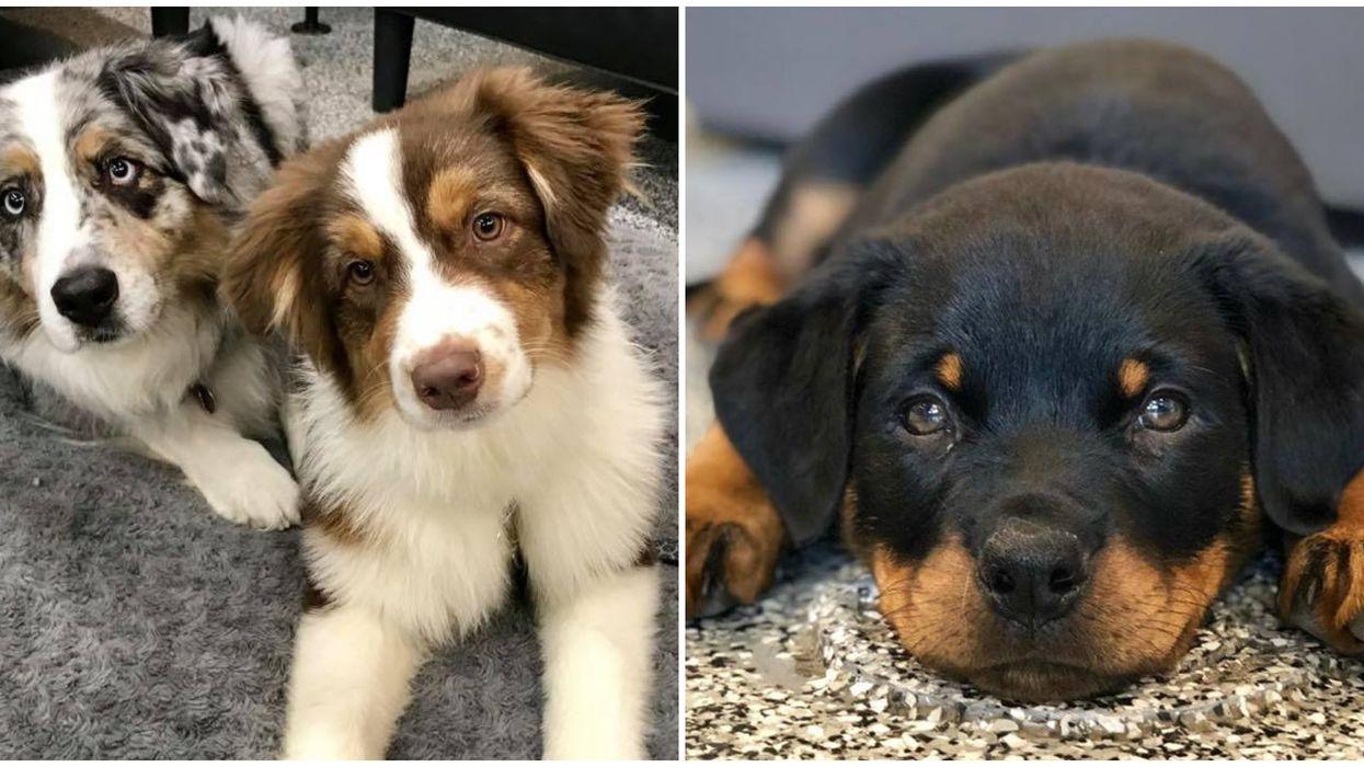 Des « Puppy-Parties » auront lieu à Québec ce mois-ci et c'est la chose la plus cute