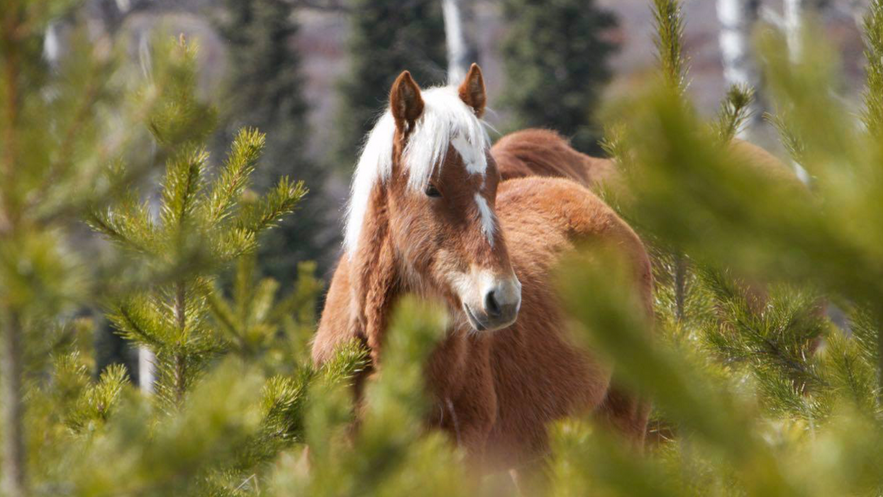 Albertans Are Concerned That Their Wild Horses Will Be Killed Again In The Fall