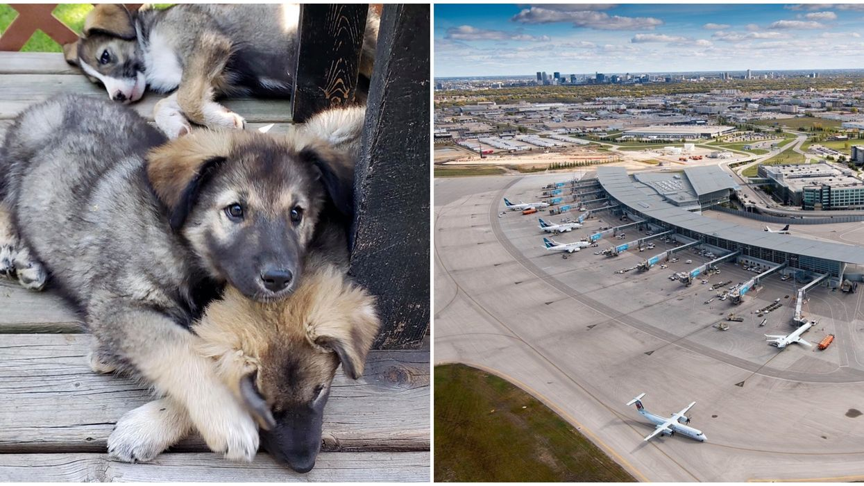 Canadian Travellers Are Being Asked To Take Rescue Puppies With Them On Their Next Flight