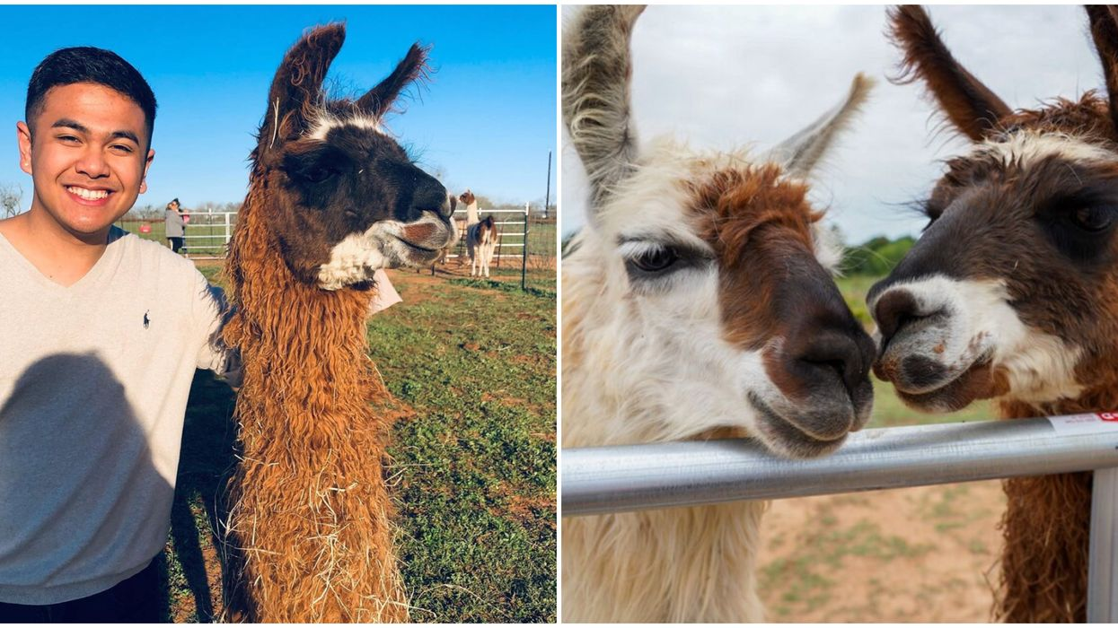You Can Spend A Day With Llamas On This Farm Near San Antonio