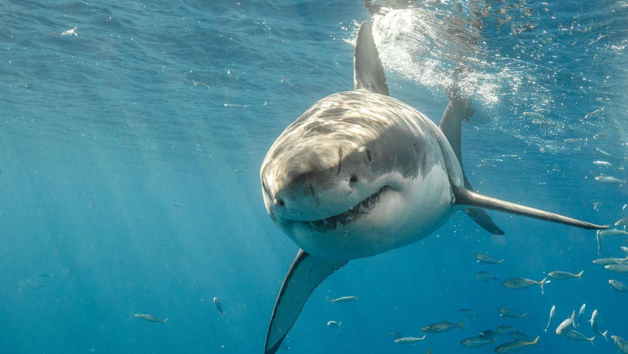 Le requin blanc vu dans le golfe du St-Laurent se rapproche de la Gaspésie