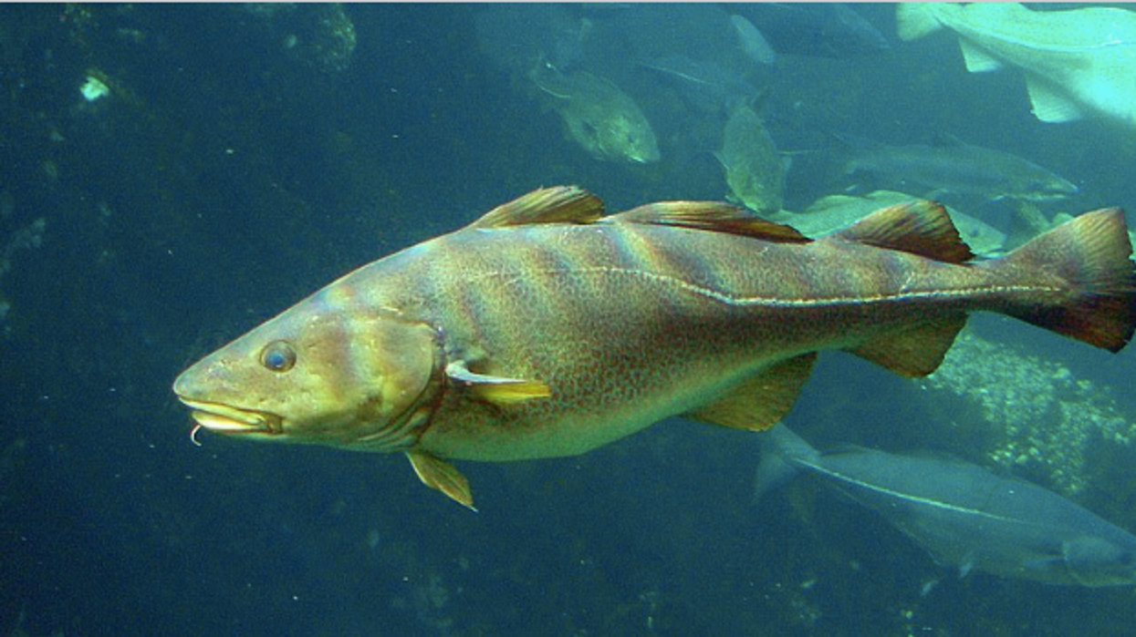 Canadians May Have To Say Goodbye To Cod For Good As They Near Extinction