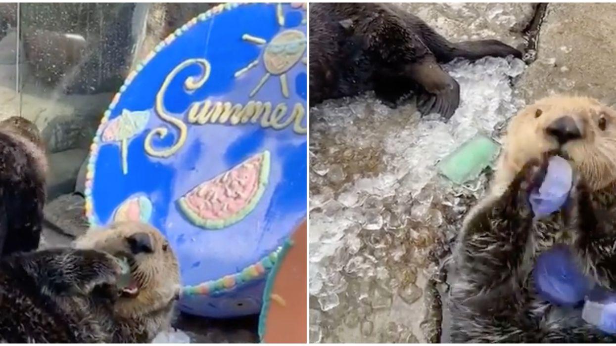 The Otters At The Vancouver Aquarium Got The Cutest Surprise Popsicle Treats (VIDEO)