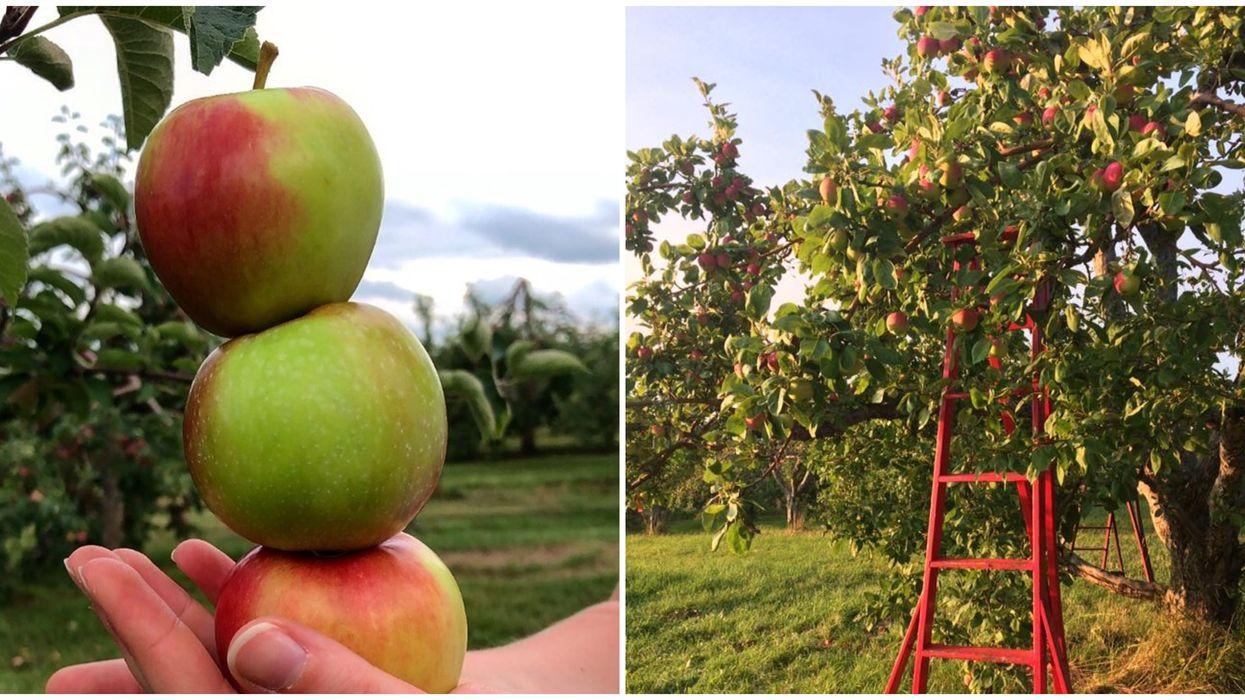 8 endroits où la cueillette de pommes a déjà débutée près de Montréal