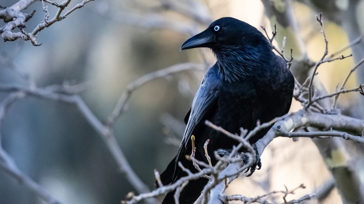There's A $10,000 Reward If You Find Vancouver's Canuck The Crow