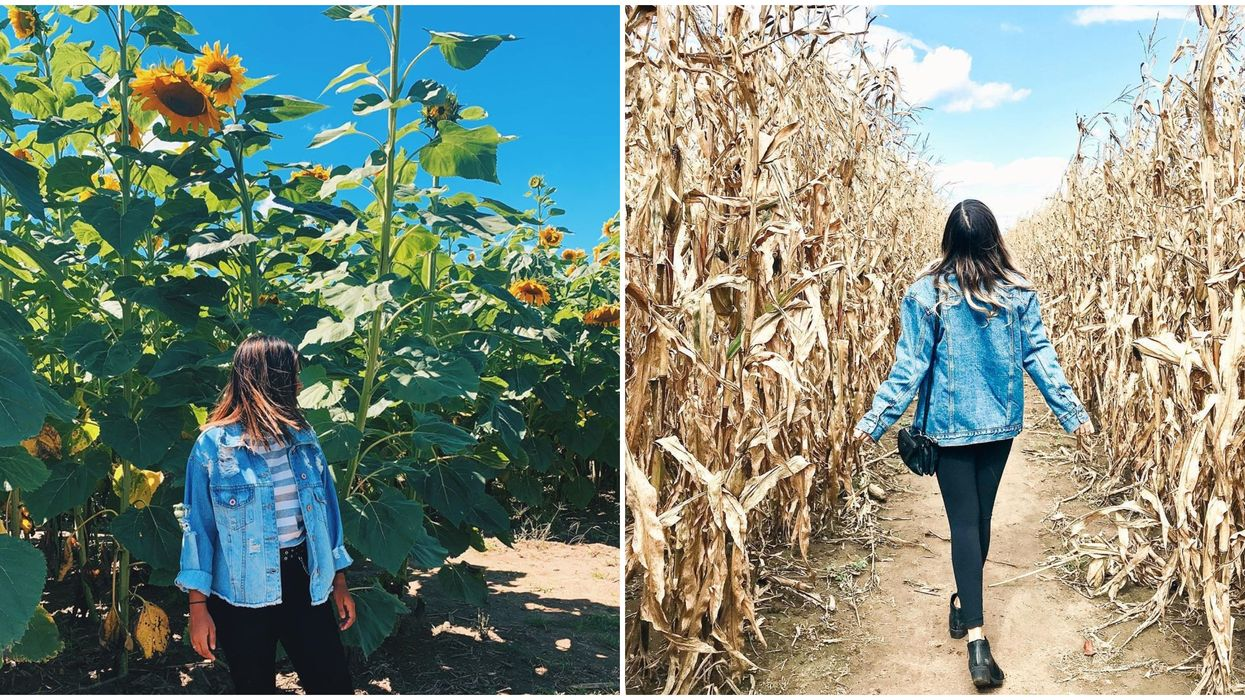 Prepare To Be Amazed By This Stunning Sunflower & Corn Maze Near Toronto