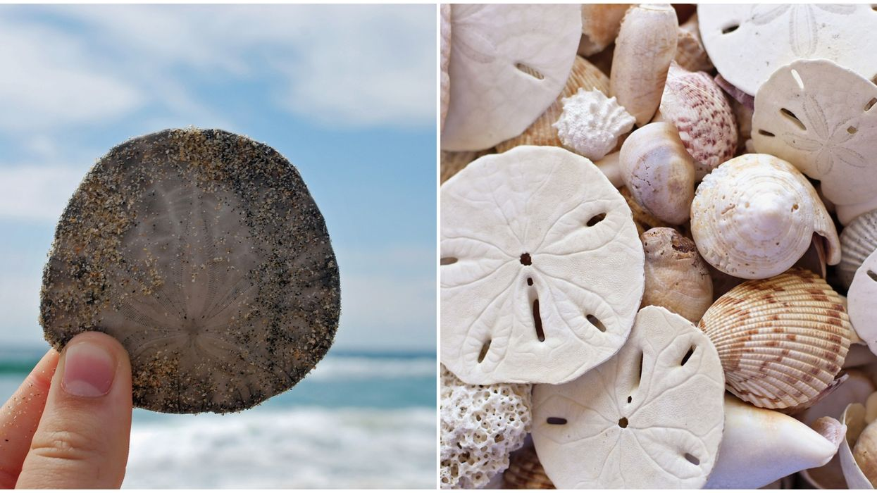 This Florida Beach Is The Best Place To Find Intact Sand Dollars
