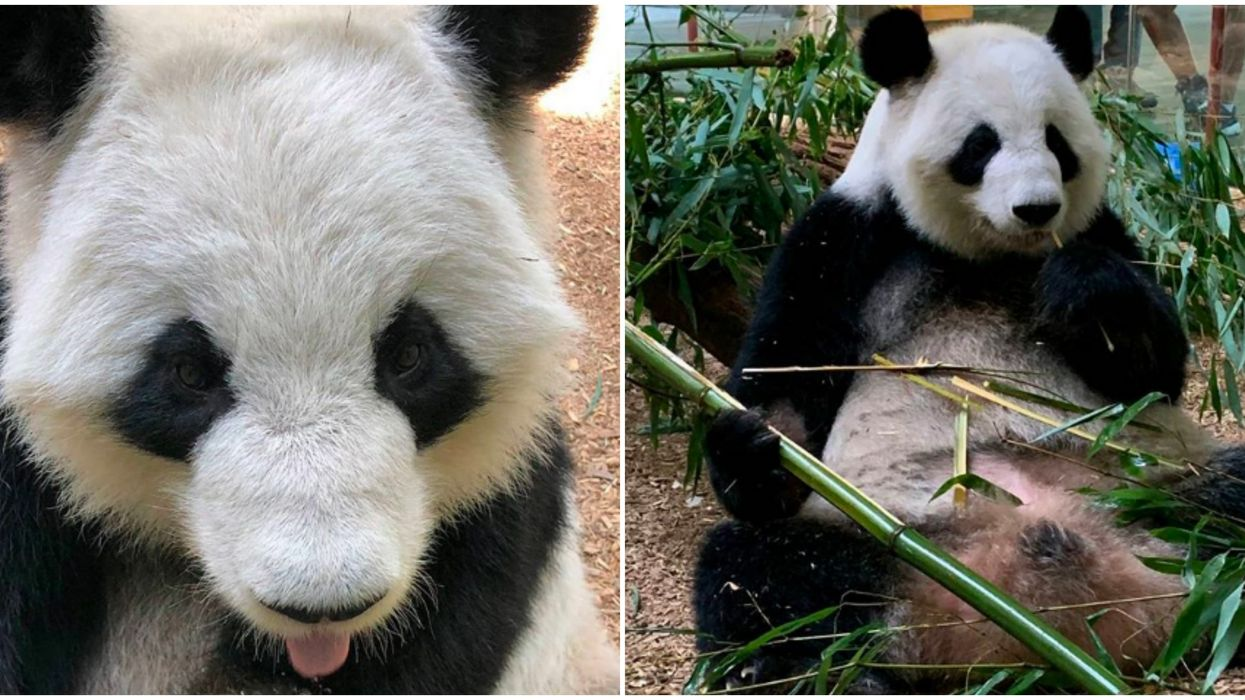 The Zoo Atlanta Panda Cam Is The Cutest Thing You'll See All Week (VIDEO)