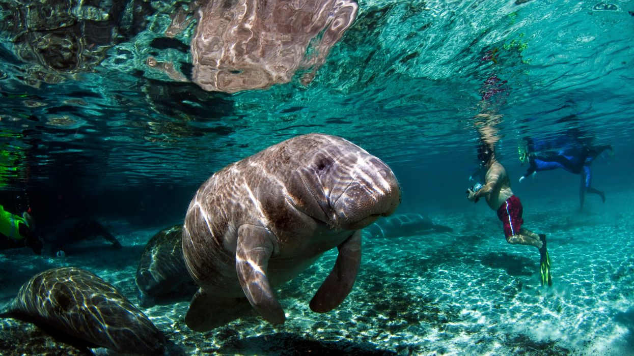 Best Places To See Wild Manatees In Florida Include These Stunning Bucket List Worthy Locations
