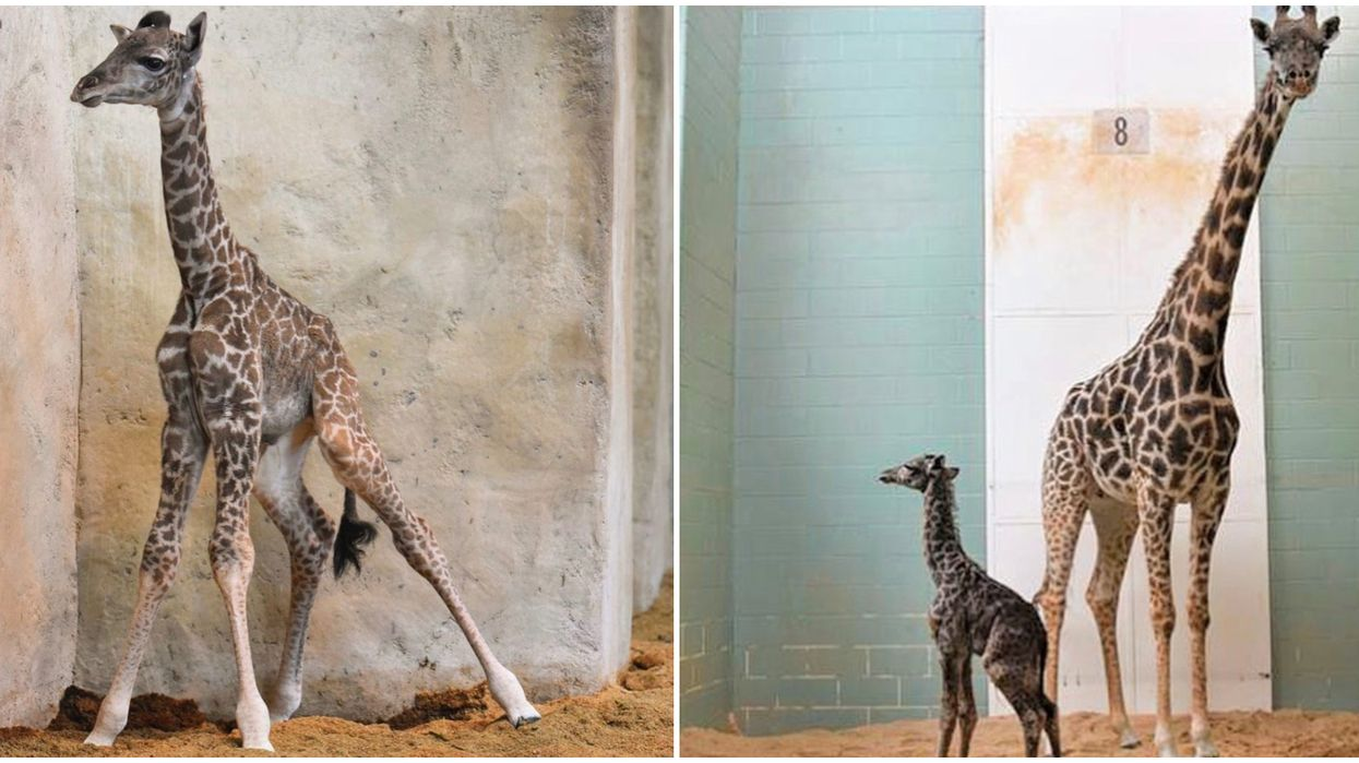 Calgary Zoo's New Baby Giraffe Dies After Having Only Lived For One Week