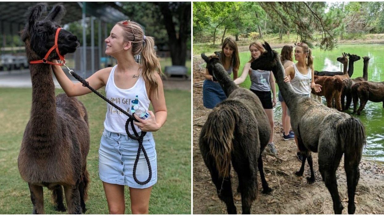 This Llama Farm Near Houston Has The Cutest Animals Ever