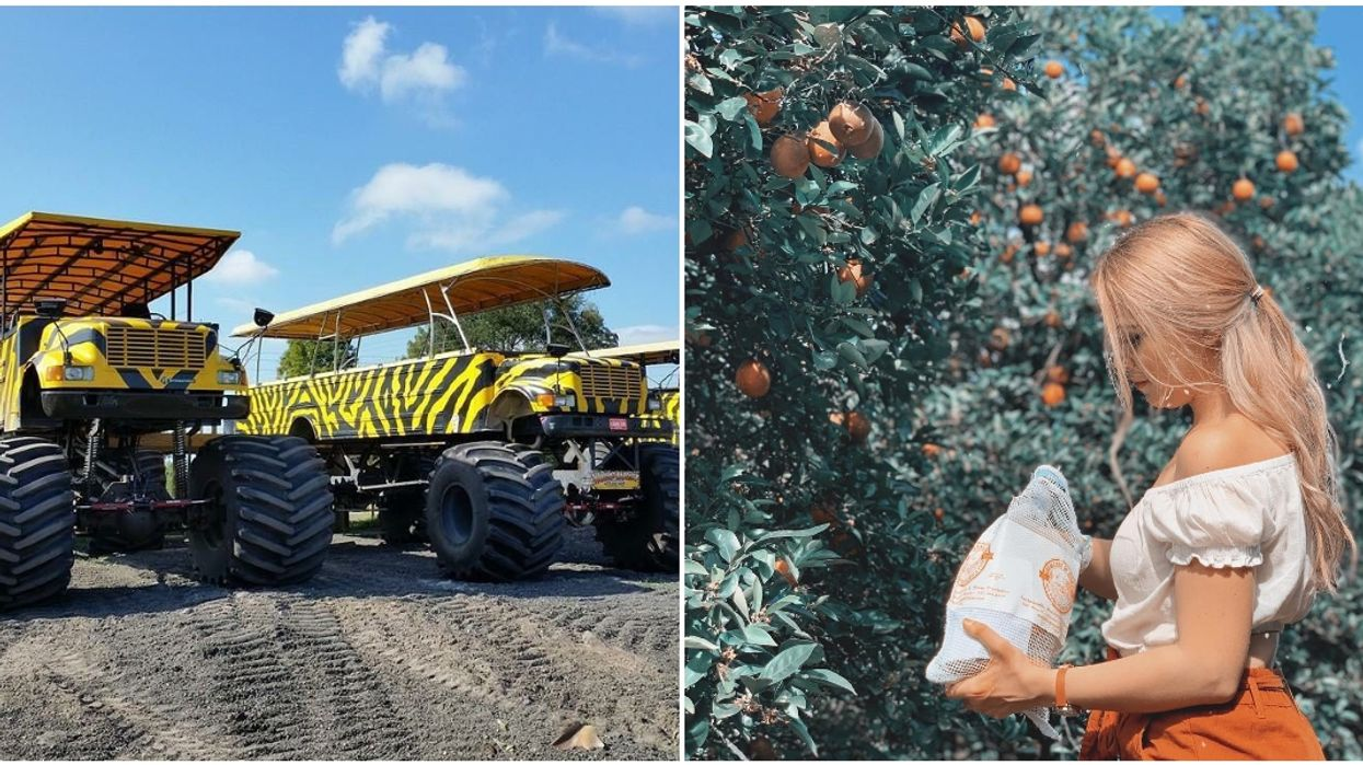 You Can Ride In A Monster Truck Bus & Pick Oranges At This Orlando Citrus Grove