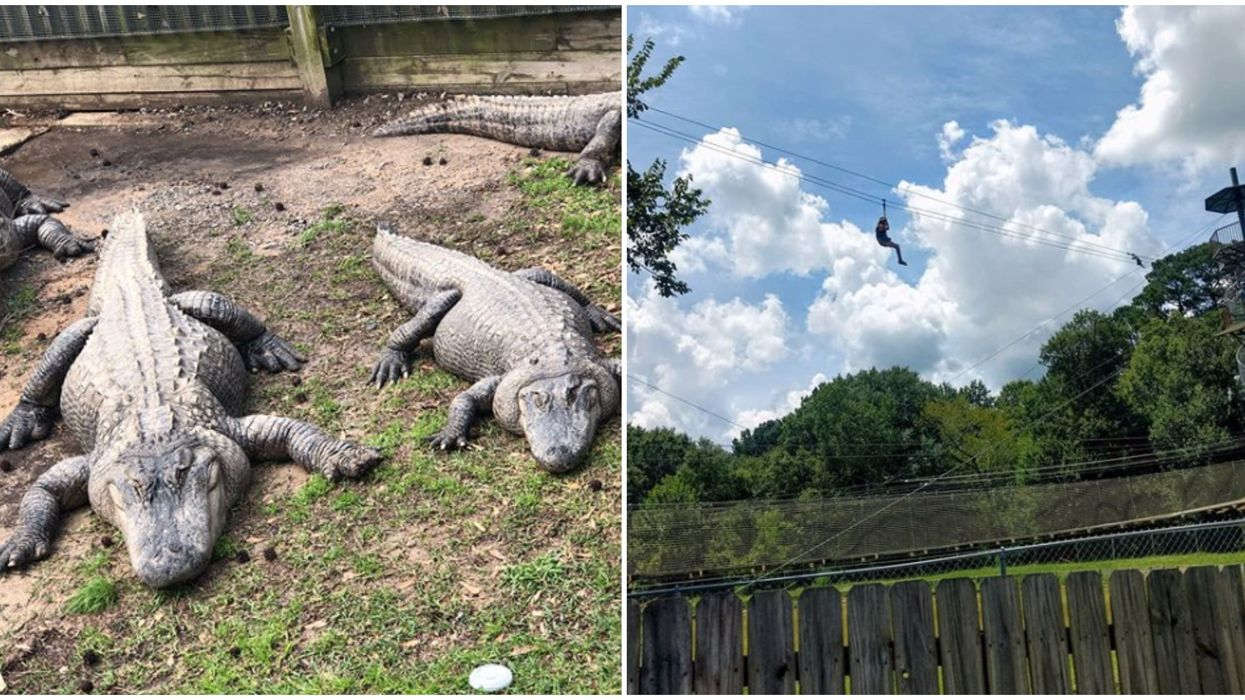Longest Zipline In Louisiana Takes You Over A Pool Of 150 Gators