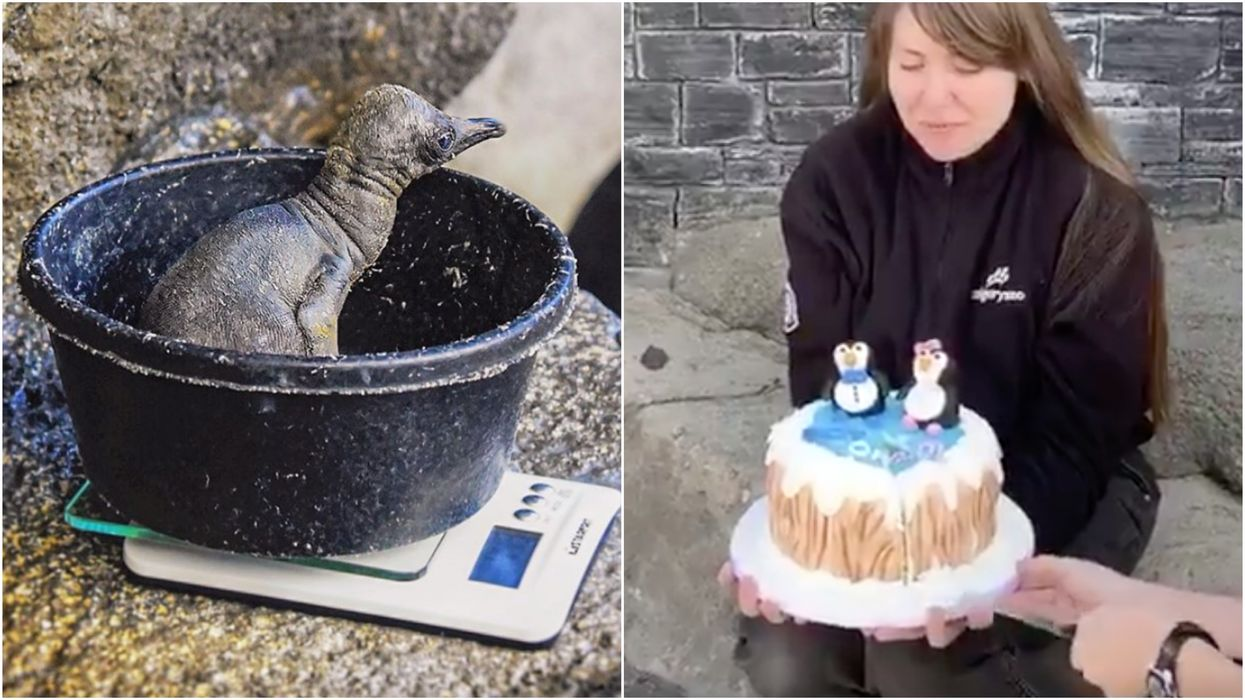 Calgary Zoo's Littlest Penguin Just Had Its Very Own Gender Reveal Party