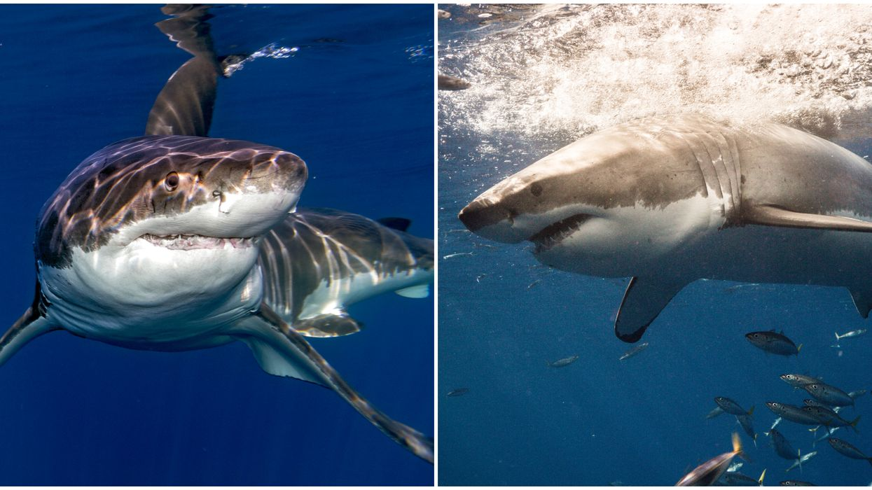 Multiple Massive Great White Sharks Near North Carolina Coast Right Now