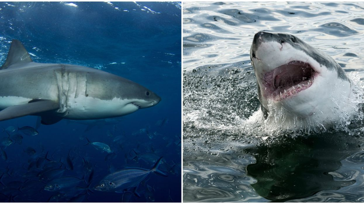 Great White Sharks Heading to Florida Are Huge