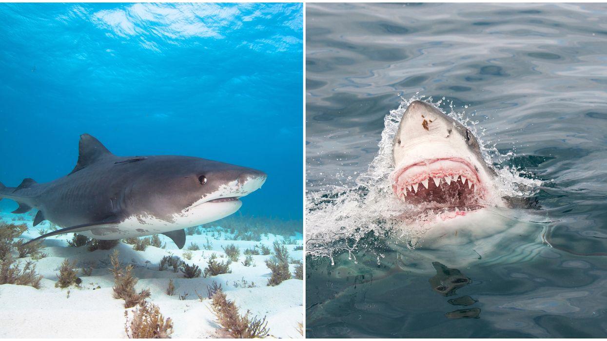 There Are Nine Massive Sharks On North Carolina's Coast