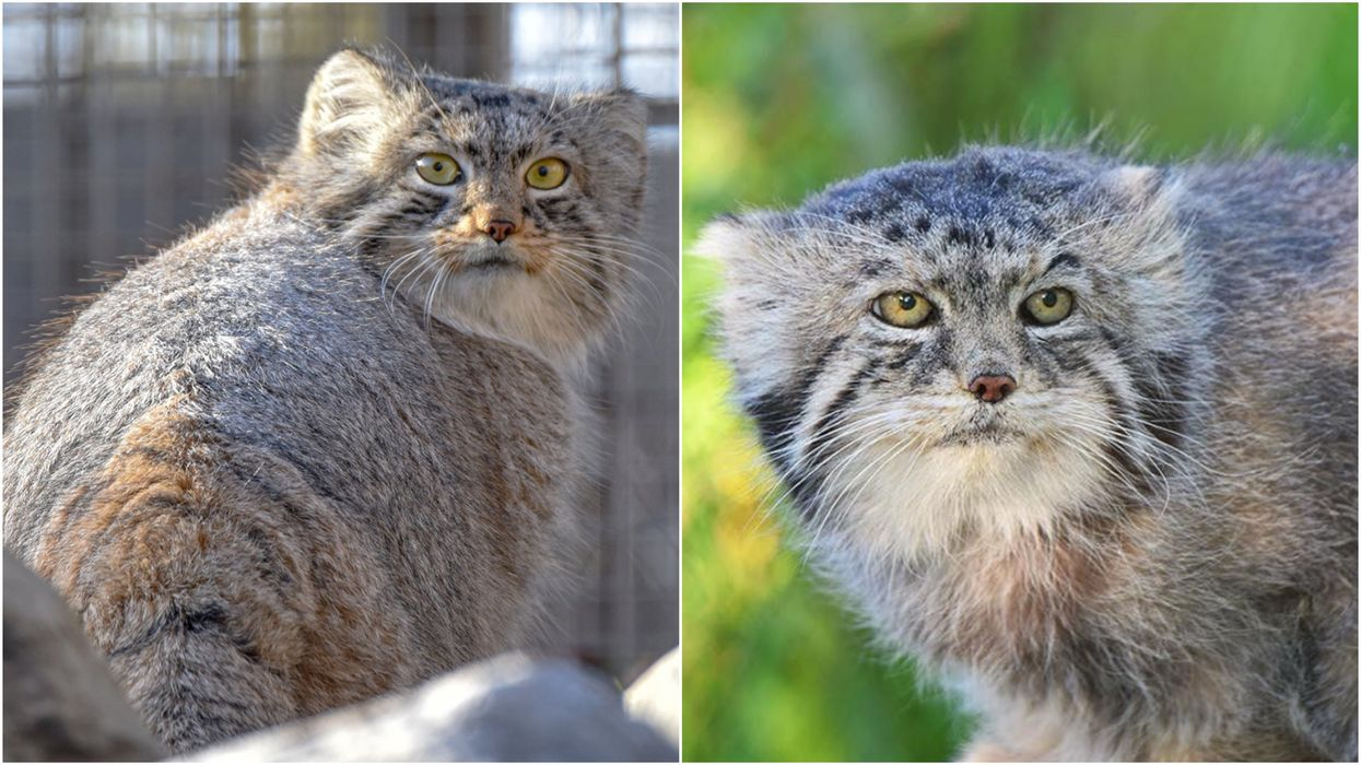 The Calgary Zoo's New Cats Are Super Fluffy & Extra Chonky