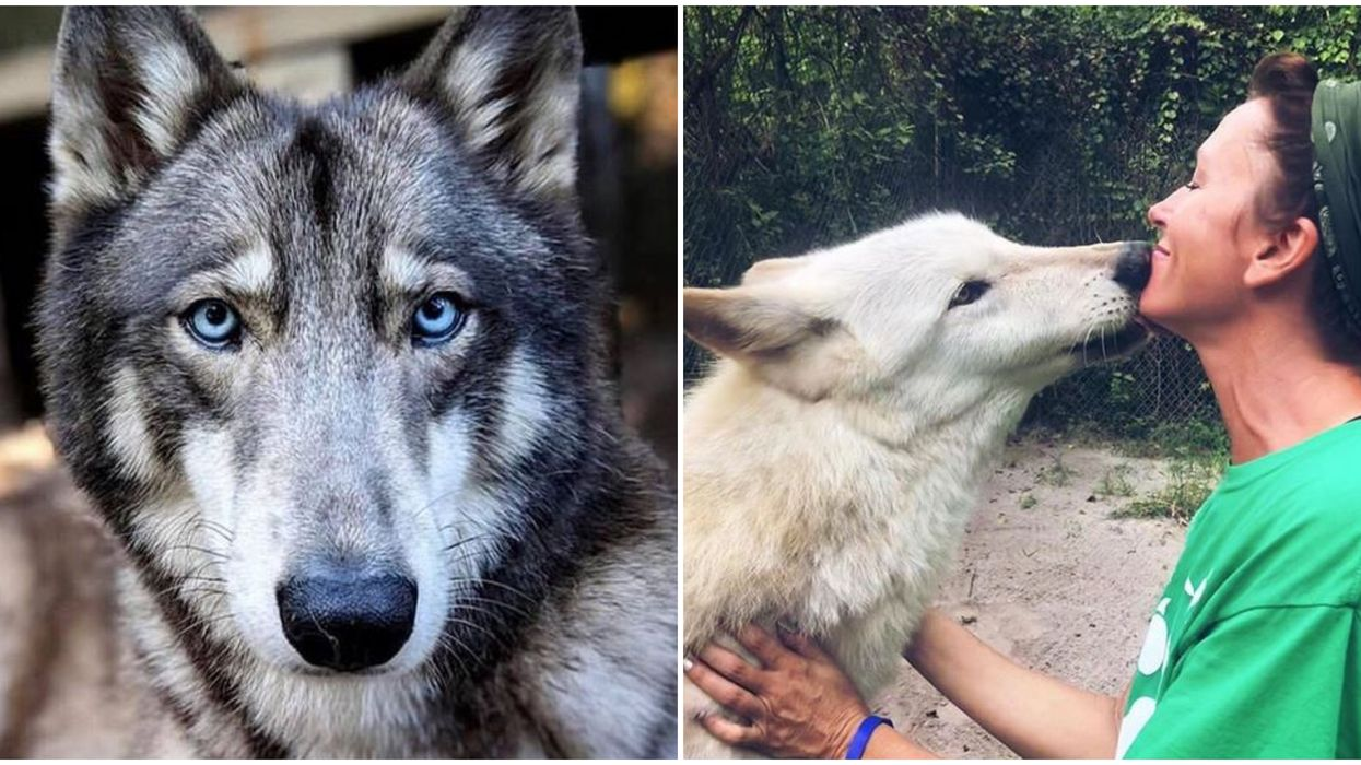 Florida Wolf Sanctuary Lets You Get Up Close With Wolves For $15