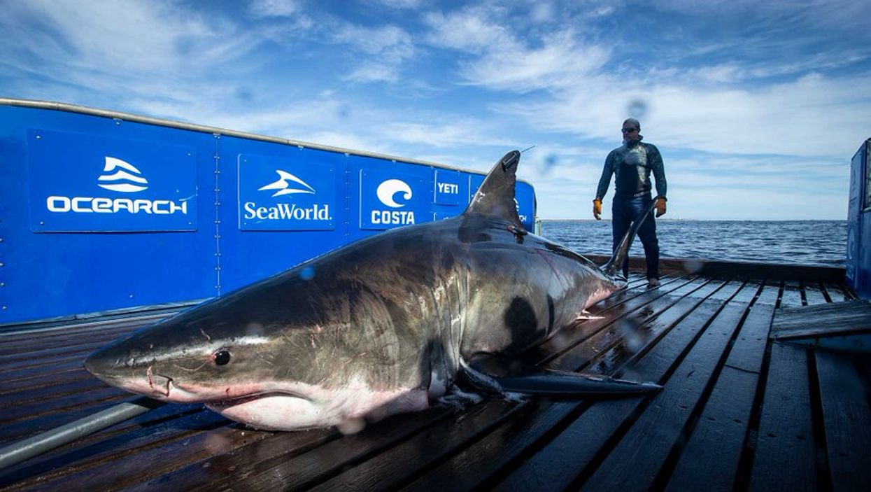 Biggest Great White Swimming Off Florida Coast Right Now Weighs Over A Ton