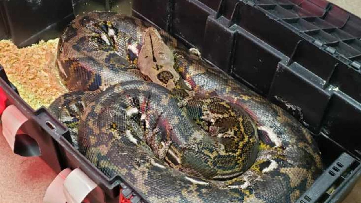Another Huge Python Was Found Loose In Ontario And This Is Honestly Getting Weird (PHOTOS)