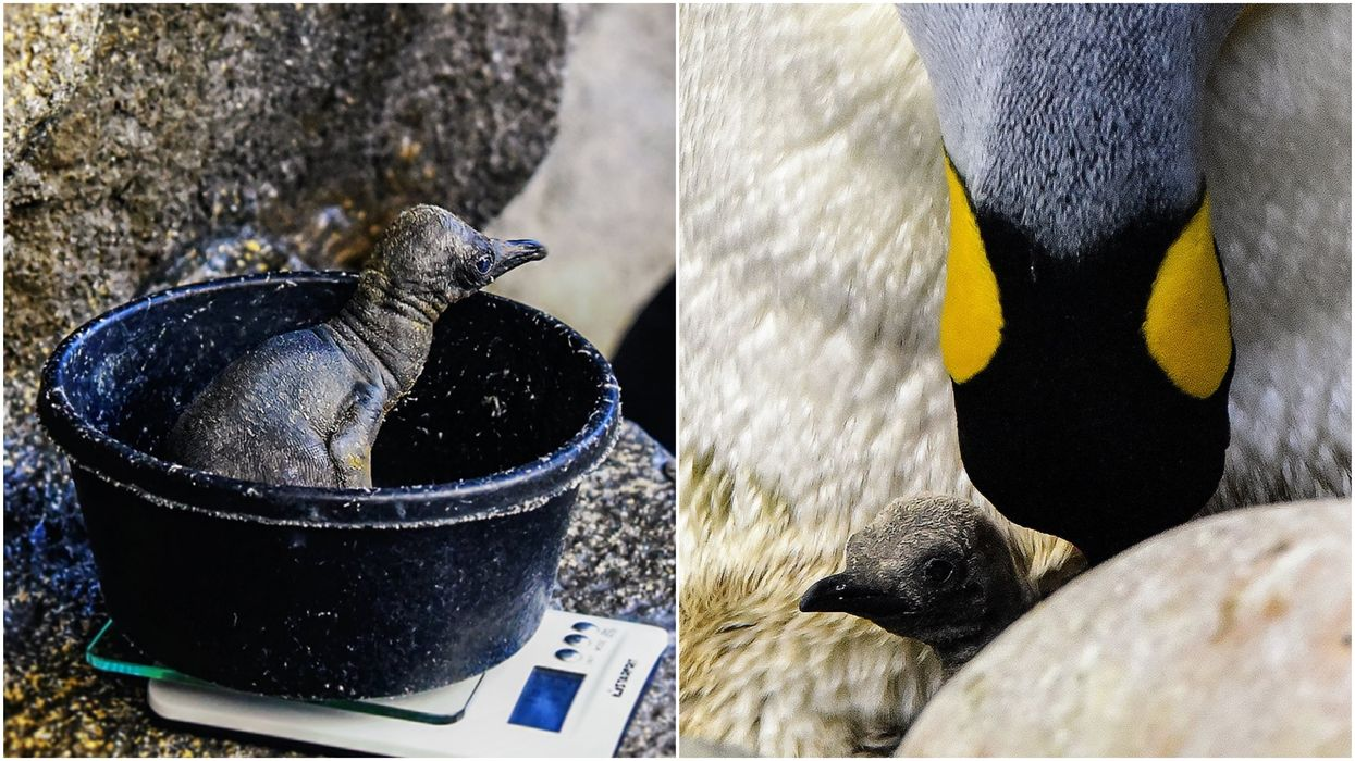 Calgary's Broken Egg Penguin Is Officially Thriving & There's A Party To Celebrate