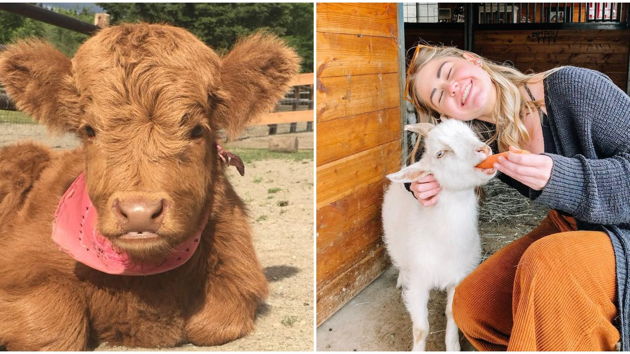 You Can Cuddle Rescued Farm Animals For FREE At This Adorable Washington Sanctuary