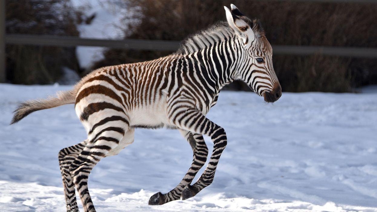 Calgary Zoo's Baby Zebra Looks Like He Wants To Be One Of Santa's Reindeer