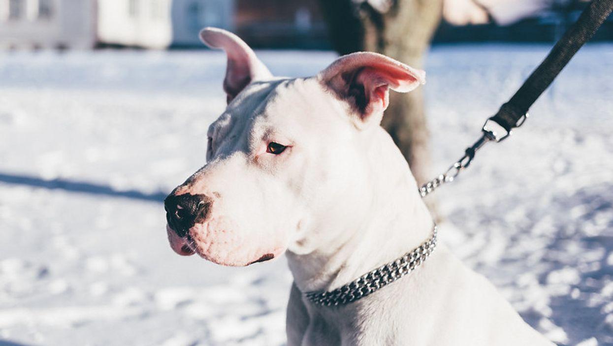 Voici quand la nouvelle loi sur les chiens dangereux entrera en vigueur au Québec