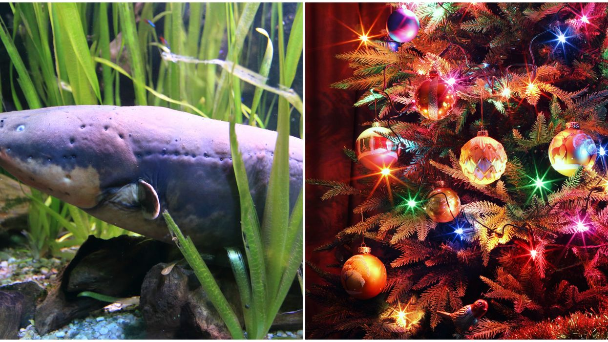 The Tennessee Aquarium Is Literally Using Eel Electricity To Light Its Christmas Tree (VIDEO)