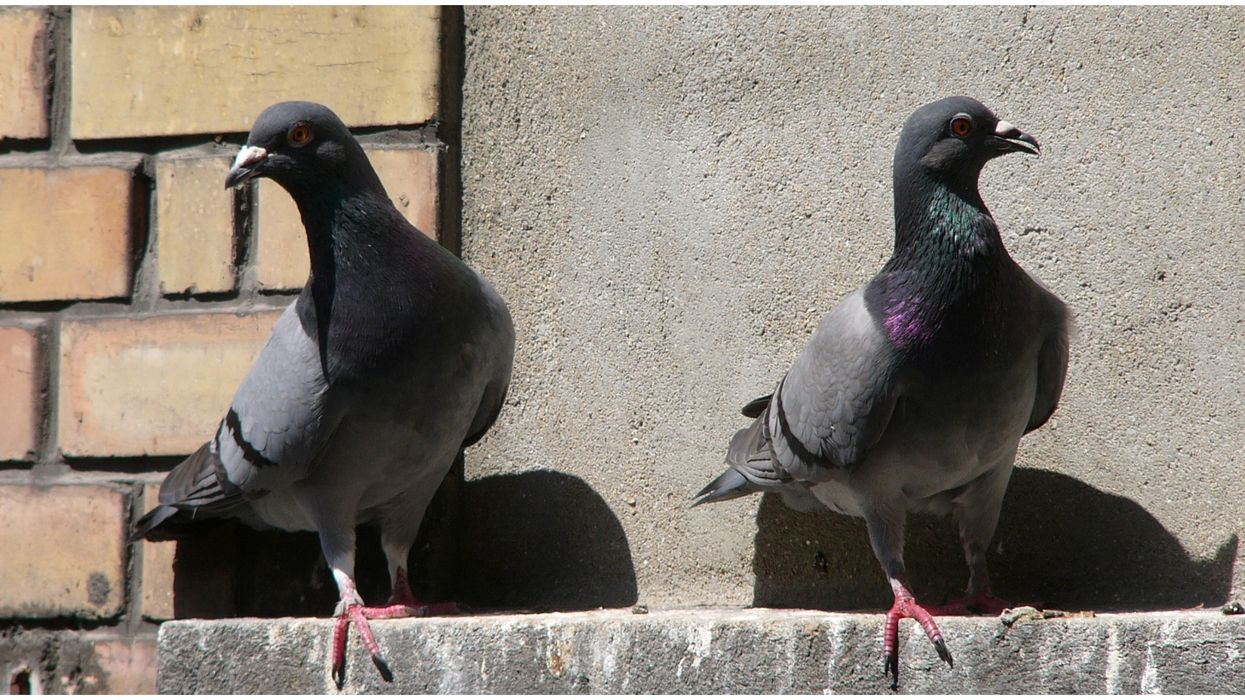 The Pigeons In Las Vegas Wearing Hats Have Their Own Song