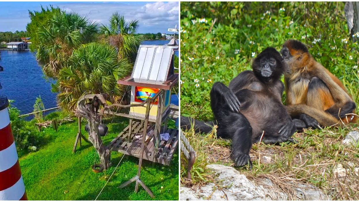 Monkeys In Florida Can Be Watched 24/7 With This Resorts Live Cam Coverage